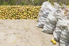Freshly harvested oranges Royalty Free Stock Photo