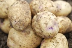 Freshly harvested organic allotmen potatoes. Royalty Free Stock Images