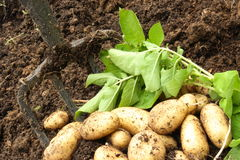 Freshly harvested organic potatoes. Close up of freshly harvested organic potatoes with greenery and garden fork Stock Photos