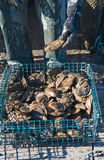 Freshly harvested oysters Royalty Free Stock Images