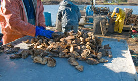 Freshly harvested oysters stock images