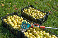 Fruit picker and pears Stock Photos