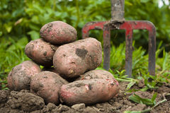 Freshly harvested potato Stock Images