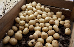 Freshly harvested potatoes Royalty Free Stock Photo