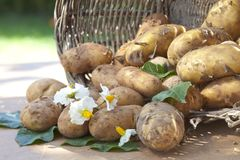 Freshly harvested potatoes Royalty Free Stock Images