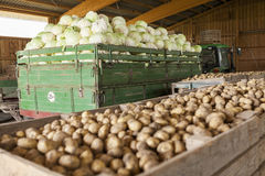Freshly harvested potatoes and cabbages Royalty Free Stock Images