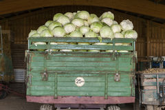 Freshly harvested potatoes and cabbages Royalty Free Stock Image