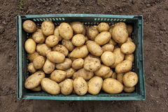 Freshly harvested potatoes. A crate of freshly harvested potatoes on bare soil background Royalty Free Stock Images
