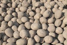 Freshly Harvested Potatoes. Royalty Free Stock Photos