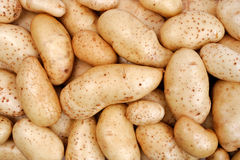 Freshly harvested potatoes Stock Image