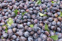 Freshly harvested prune plums on display Stock Photos