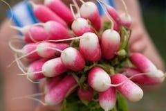 Freshly harvested, purple colorful radish. Stock Images