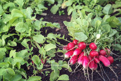 Freshly harvested radish. A bunch of fresh organic radish grown in the home garden Stock Photography