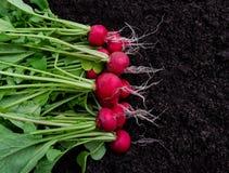 Freshly harvested radish on dark soil background Royalty Free Stock Photography