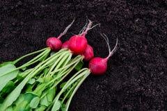 Freshly harvested radish on garden soil background Royalty Free Stock Photography