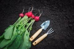Freshly harvested radish and gardening tools. On dark garden soil background Stock Photos
