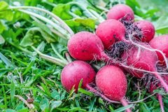 Freshly harvested radish on green lawn Stock Images
