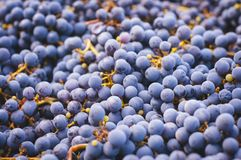 Background. Freshly harvested red grape background Royalty Free Stock Photo