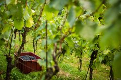 Freshly harvested red grapes in a pannier Stock Photography