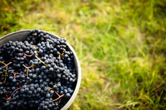Freshly harvested red grapes in a pannier on a  vineyard Stock Images