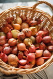 Freshly harvested red onions in a woven basket with sunlight. Healthy food. Garden's harvest Stock Image
