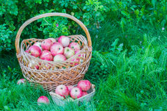 Freshly harvested ripe apples in big and small wicker baskets on the green grass in the garden Stock Photos