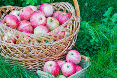 Freshly harvested ripe apples in big and small wicker baskets on the green grass in the garden. Closeup Stock Photos
