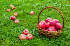 Freshly harvested ripe apples in a brown wicker basket on the green grass in the garden Stock Photo