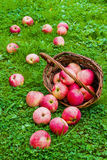 Freshly harvested ripe apples in a brown wicker basket, lying on its side. Garden, green grass Stock Photos