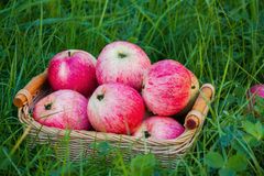 Freshly harvested ripe apples in a small wicker basket on the green grass in the garden. Closeup Stock Photography