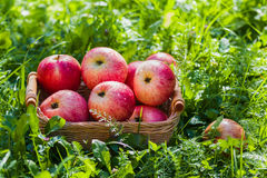 Freshly harvested ripe apples in a small wicker basket on the green grass in the garden. Closeup Royalty Free Stock Photo