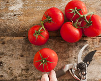 Freshly harvested ripe red grape tomatoes Stock Image
