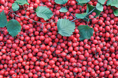 Freshly harvested ripe red hawthorn Stock Photos