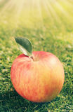 Single red apple on green grass. Freshly harvested single red apple with one leaf lying on green grass in the warmth of a glowing sunburst with rays royalty free stock image