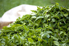 Freshly Harvested Tea Leaves Royalty Free Stock Photo