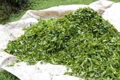 Freshly Harvested Tea Leaves Royalty Free Stock Photo