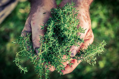 Freshly harvested thyme in hands Stock Photography