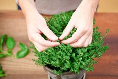 Freshly harvested thyme in hands.men in Kitchen at Home stock photography