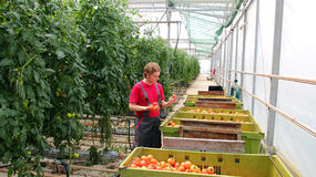 Freshly Harvested Tomato in Farmer's Hands Royalty Free Stock Photography