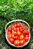 Freshly harvested tomatoes Stock Images