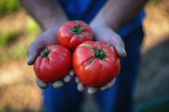 Freshly harvested tomatoes in farmers hands Royalty Free Stock Photos