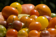 Fresh garden tomatoes Stock Images