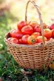 Freshly harvested tomatoes Stock Image