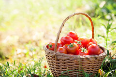 Freshly harvested tomatoes Stock Photos