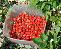 Freshly harvested wild strawberries Stock Photos