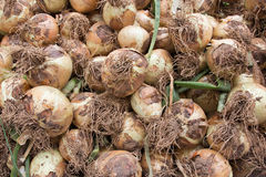 Freshly harvested yellow onions Stock Photography