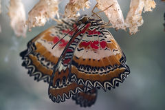 Freshly hatched butterflies. Two freshly hatched butterflies with cocoons royalty free stock photo