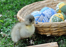 Freshly hatched duck Stock Photography