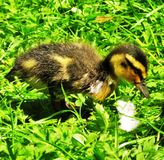 Freshly Hatched Duckling. Newly hatched Mallard Anas platyrhynchos duckling foraging in grass, Lightoaks Park, Salford, UK, May 2018 Royalty Free Stock Image