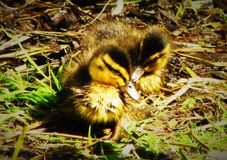 Freshly Hatched Duckling Siblings. Newly hatched Mallard Anas platyrhynchos ducklings foraging in grass, Lightoaks Park, Salford, UK, May 2018 Stock Photos